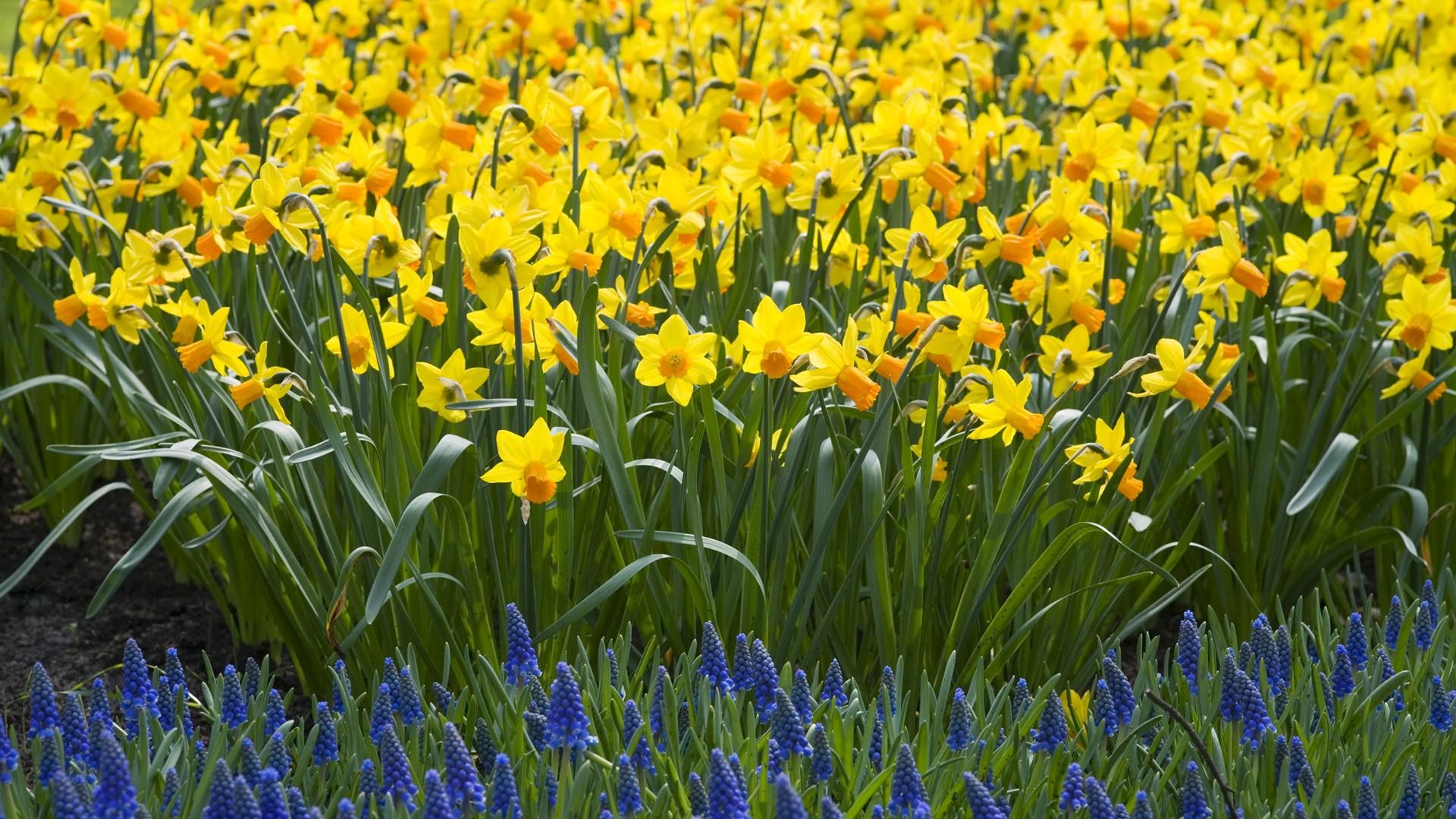 nature-daffodils_00340904